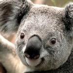 Koala, albagloria5